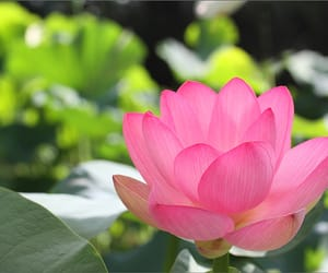 flickr, flower, and lotus image