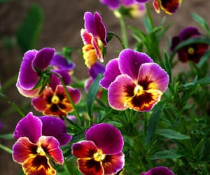 pansies and amazing ...wow image