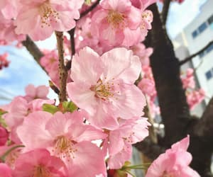 beauty, cherryblossom, and pastel image