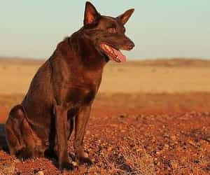 red dog and australian movie image