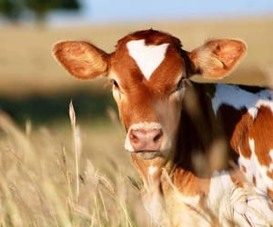 animals, country living, and cows image