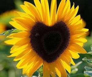 flowers, sunflower, and heart image