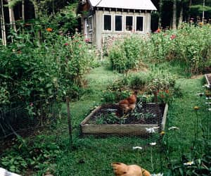 Chicken and farm image