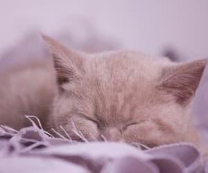 british, kitten, and sleeping cat image