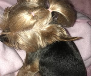 puppy, shiny hair, and yorkie image