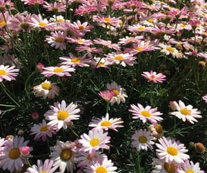 beautiful, daisy, and flower image