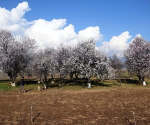 full bloom, almond trees, and advent of spring image