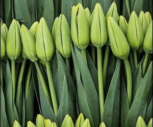flowers, tulips, and green image