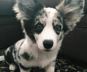 puppy, corgi, and dog image