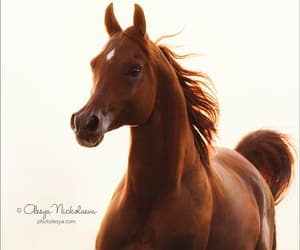 arabian, gallop, and chestnut image