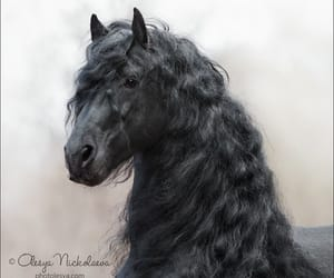 black, friesian, and horse image