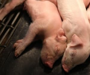 piglet, animals, and pigs image