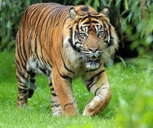 tiger, tigris, and tijger image