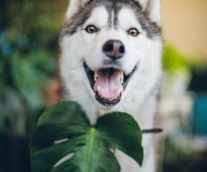 animals, leaves, and siberian husky image