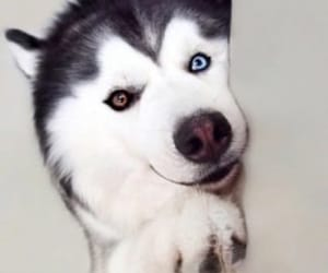 dog, animal, and blue eyes image