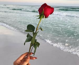 rose, red, and beach image
