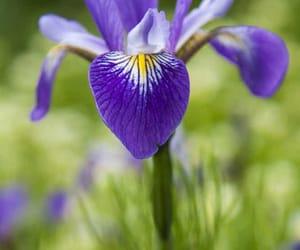 flower, iris, and purple image