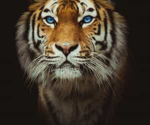 beautiful, tigers, and wow image