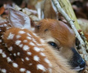 deer, animal, and fawn image