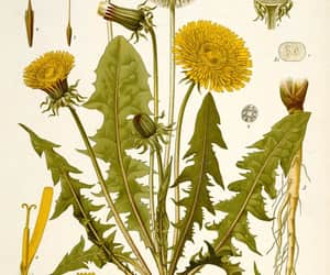 botanical, dandelion, and vintage image
