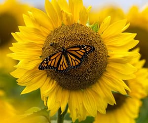 sunflower and love flowers image