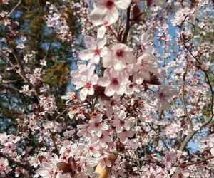 cherries, cherry blossoms, and cherry image