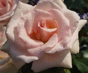 passion, pink, and rose image