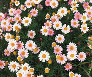 california, daisies, and daisy image