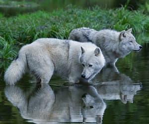 animals, nature, and lobos image
