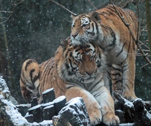 siberian tiger, tygr, and siberian-tiger image