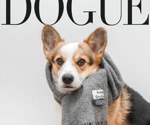 corgis, dogs, and dogue image