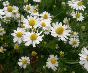 daisies, flower, and spring image