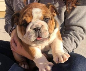 english bulldog, tumblr+instagram, and goals+love image