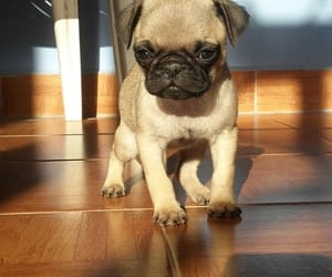 dog, pug, and hermoso image