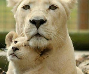 lioness and leona image