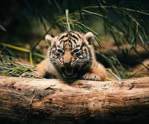 animal, tiger, and aww image