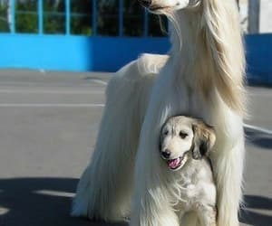 dogs, puppies, and afghans image