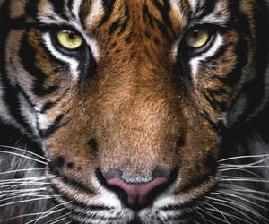 tigre, ojos, and felino image