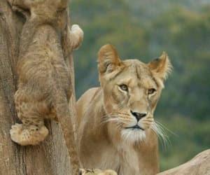 animal, lioness, and cachorros de leon image