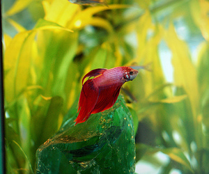 aquarium, D50, and fighting fish image