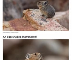 lol, pika, and mammals image
