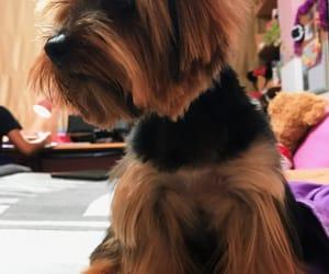 dog, yorki, and cute image