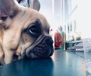 animal, dog, and french bulldog image