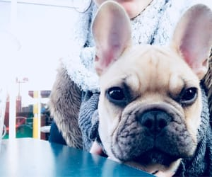 chilling, french bulldog, and lovely image