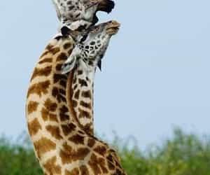 Animales, jirafas, and belleza image
