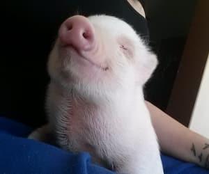 happy pig image