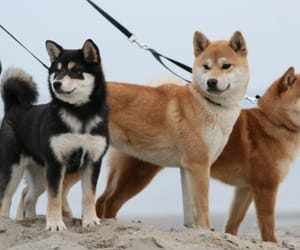 dog, dogs, and shiba inu image