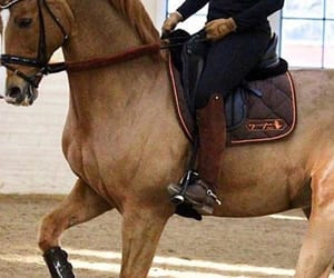 chestnut, dressage, and equestrian image