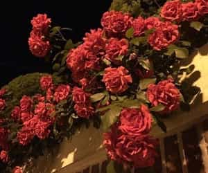 aesthetic and roses image