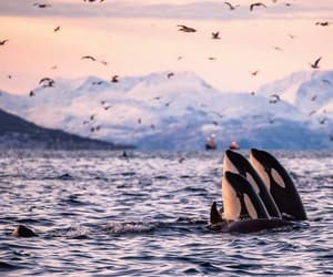killer whale, norway, and orca image